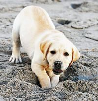 Riggins the Labrador Retriever   Puppies   Daily Puppy