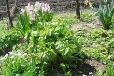 Hyacinth / Peony