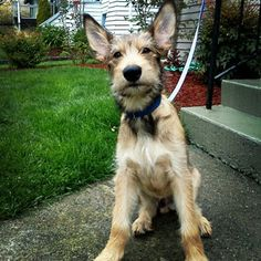 berger picard dog photo | photo-sniff-seattle-dog-walkers-berger-picard-dexter-ballard-dog ...