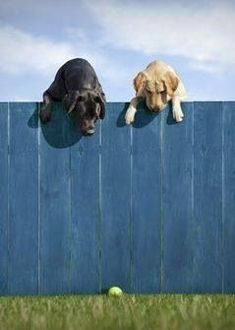 My dig would be right over that fence, she's a 56 pound freakishly strong and agile 2 year old golden retriever... #labradorretriever