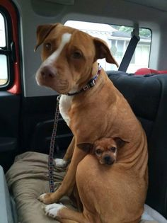 My mom sent me this photo of a pit bull and a chihuahua who got adopted together.