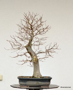 Maros Bonsai Blog: Carpinus betulus