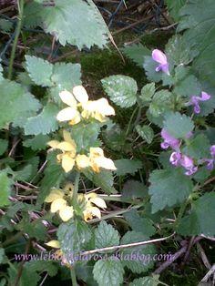Redorer l'image du lamier/Boosting the image of dead-nettle - Le blog de Semper Rose