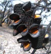 the australian banksia bush are unable to propagate unless first burnt in a bushfire. the seed pods are hard & lay dormant until a bushfire passes over them, which scorches or burns the outer shell cracking it open & releasing the goodness inside. the plant germinates & grows to replace that which was lost in the fire..