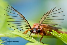 Phengodes sp by Colin Hutton Photography, via Flickr