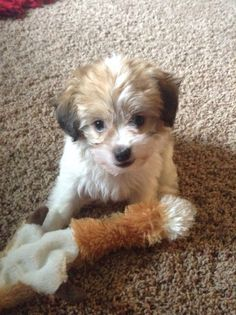 My new puppy Sugar she is a Havanese and they stay small they range from 5 to 13 pounds full grown