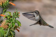 Oasis Hummingbird(Rhodopis vesper) photographed by Andres Puiggros V. in Arica, Chile
