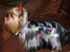yorkie haircut styles pictures