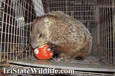 Woodchuck & Groundhog Removal in Westchester, NY - TriState Wildlife Management