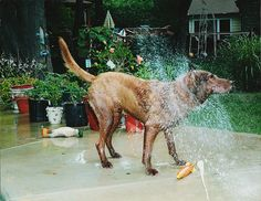 The Best Photograph of a Chesapeake Bay Retriever Shaking Off After a long Swim Check out his Rocket and Duck Toy along with the Shake Off Spray Pattern.