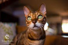 Brown Bengal cat with green eyes.  Photo by Amanda Perris #bengalcat