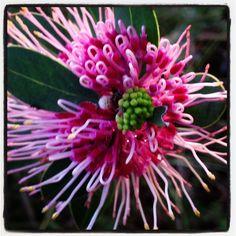 Australian native plant Australian Wildflowers, Australian Native Flowers, Australian Native Garden, Australian Plants, Wonderful Flowers, Love Flowers, Wild Flowers, Native Australians, Wild Orchid