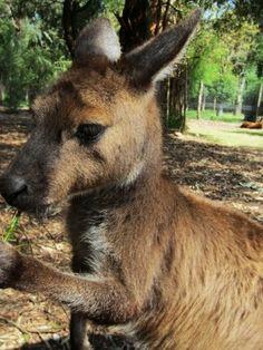 at the Healesville Sanctuary, Victoria, Australia