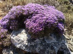 Thym serpolet | Wild Thyme growing on the rocks