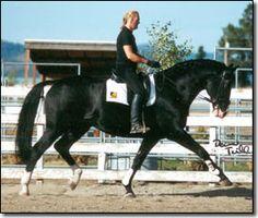 Winnetou...1994 Hanoverian  Stallion