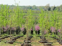 Hale And Hines Pot In Operation Showing Trees Growing Containers The Nursery