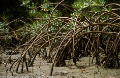 Stilt roots of mangrove tree Rhizophora mangle at low tide at mouth of river, Atlantic coastal vegetation, Para, Brazil