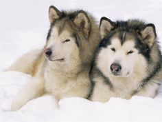 Malamutes - note the overall difference in size and build compared to a Siberian Husky ... like a draft horse compared to a thoroughbred