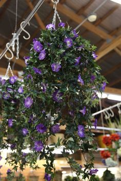 morning glories porch - Google Search. Now why didn't I think of this idea for hanging my potted plants in our screened porch!? Metal pole/bar, s-hooks & curtain rod hangers!