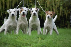 parson russell terrier info | From left to right we have CH IR INT CH Kylini Phoenix (Binx), Ir Ch ...