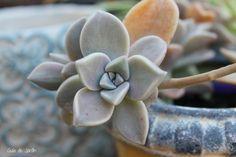 10 plantas suculentas muy fáciles de cultivar - Guia de jardin. Blog de jardinería y plantas. Aprende a cuidar tu jardín.