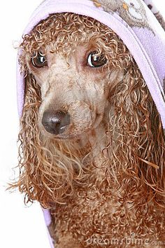 #Apricot #poodle after a bath