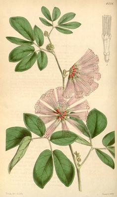 Calliandra Harrish - Curtis's botanical magazine. - (1846)