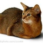 Abyssinian - I have one called Flicka