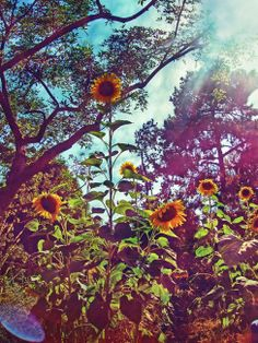 Don't  usually like sunflowers but this is gorgeous!