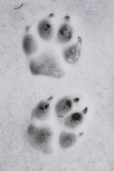 Christopher Barton photography  | Wolf Track in the Snow, 2014  | British Columbia, Canada