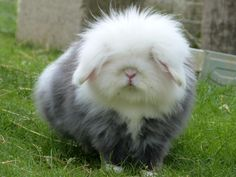 A ridiculously fluffy angora rabbit...... Can I have it?