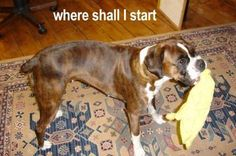 Boxer Dogs rock   petMD