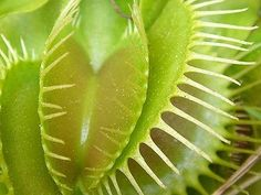 Venus flytrap. #carnivorous #plant http://www.smithsonianmag.com/science-nature/ten-plants-that-put-meat-on-their-plates-4413617/?c=y&navigation=thumb&page=3 ❤️