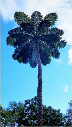 GIANT TREE FERN ABOUT 40 FEET TALL