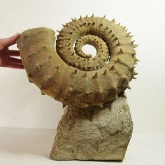 Emericiceras barremense Ammonite fossil | In China? try www.importedFun.com for Award Winning Kid's Science |: