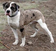 Alapaha Blue Blooded Bulldog Found out about this breed when I started fostering Doque De Bordeaux/Blue Blooded Bulldog/Rottweiler mixed puppies. Rottweiler Mix Puppies, Bulldog Puppies, Dogs And Puppies, Doggies, Baby Puppies, Chihuahua Dogs, Blue Blood Bulldog, Dog Breeds Pictures, Dog Pictures