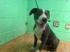 #A4178468 My name is Cali and I'm an approximately 4 year old female pit bull. I am already spayed. I have been at the Carson Animal Care Center since January 10, 2015. I am available on January 10, 2015. You can visit me at my temporary home at C408. https://www.facebook.com/171850219654287/photos/pb.171850219654287.-2207520000.1421065429./357767497729224/?type=3&theater