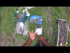How to Grow Amaranth - YouTube
