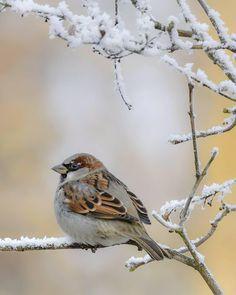 """989 tykkäystä, 15 kommenttia - Birds of Finland 🇫🇮 (@suomen_linnut) Instagramissa: """"Varpunen on nykyisin erittäin uhanalainen laji Suomessa. ❤️ Tavallisesta """"harmaasta varpusesta"""" on…"""" Finland, Winter, Birds, Zip, Flowers, Nature, Animals, Beautiful, Instagram"""