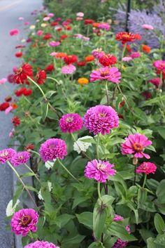 Zinnia Garden, Cut Flower Garden, Flower Farm, Cut Garden, Flower Gardening, Flower Landscape, Garden Landscape Design, Zine, Best Perennials