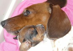 TGIF Doxies (Breeder of Piebald & Dapple Mini Dachshunds) Wire Haired Dachshund, Dachshund Puppies, Dachshund Love, Baby Puppies, Daschund, Dachshunds, Cute Little Puppies, Little Dogs, Cute Puppies