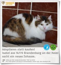 """Die kleine Schönheit Isabel wartet im Tierheim Brandenburg auf ein katzenerfahrenes Zuhause.  http://www.tierheimhelden.de/katze/tierheim-brandenburg/langhaar_mix/isabel/10303-1/  Isabel ist zwiespältig: Streicheleinheiten findet sie nicht so gut, aber gut durchgebürstet zu werden, genießt sie dann doch. In einem ruhigen Zuhause ohne Kinder würde sie vermutlich mal gerne Schmusen. Freilauf wäre für """"Isi"""" perfekt."""
