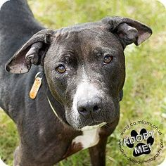 Urgent! I am at a high kill shelter in Troy, OH - Pit Bull Terrier Mix. Meet Talula, a dog for adoption. http://www.adoptapet.com/pet/17886478-troy-ohio-pit-bull-terrier-mix