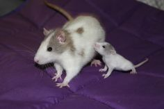 Rat baby and momma Animals And Pets, Baby Animals, Funny Animals, Cute Animals, Strange Animals, Hamsters, Rodents, Funny Rats, Cute Rats
