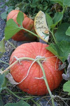 Biggest Pumpkin, China Garden, Pumpkin Farm, Garden Markers, Autumn Garden, Hello Autumn, Fall Harvest, Fall Pumpkins, Fall Halloween