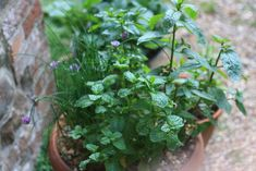 A plant pot of mint, perfect for mint tea. growingnicely.co.uk
