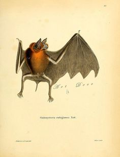 Bat Specimen. Antique Scientific Illustration Natural by artdeco, $4.00