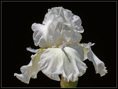WHITE IRIS 515 by THOM-B-FOTO