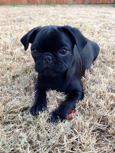 The Pug Life of Richard Squish Face Cute Pug Puppies, Black Pug Puppies, Cute Pugs, Pug Cross, Funny Animals, Cute Animals, Silly Dogs, Pug Love, Beautiful Dogs