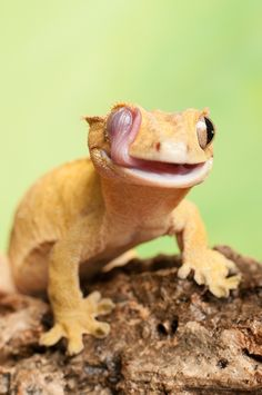 The crested gecko, New Caledonian crested gecko, Guichenot's giant gecko or eyelash gecko, Correlophus ciliatus, is a species of gecko native to southern New Caledonia. This species was thought extinct until it was rediscovered in 1994